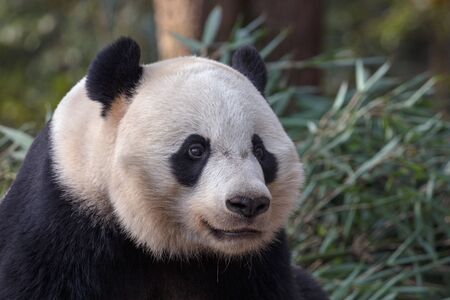 Photograph of Panda Bear in Bifengxia nature reserve, Sichuan Province China. Protected Species, Cute Young Male Fluffy Panda enjoying nature. Chinese Wildlife
