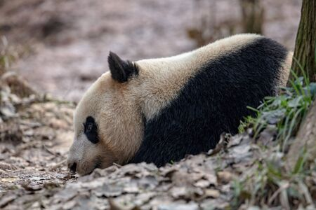 Sleepy Panda Bear resting in the forest, China Wildlife. Bifengxia nature reserve, Sichuan Province. Cute Lazy Baby Panda Sleeping on the ground, Enjoying an afternoon nap with eyes closed. Zdjęcie Seryjne