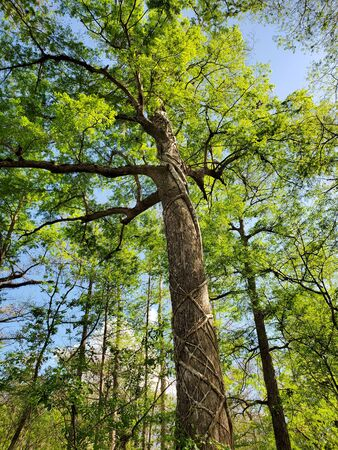 Blick vom Boardwalk in Audobon Corkscrew Swamp Sanctuary, Florida Everglades Ecosystem - Nature Walking Trail, Ancient Tree
