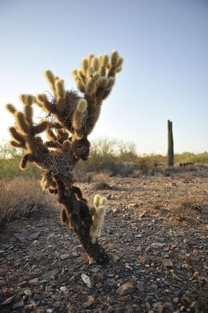 Cholla Cactus at sunset in desert with cacti in background