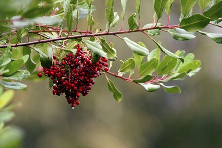 Red berries with dew drops on a green tree