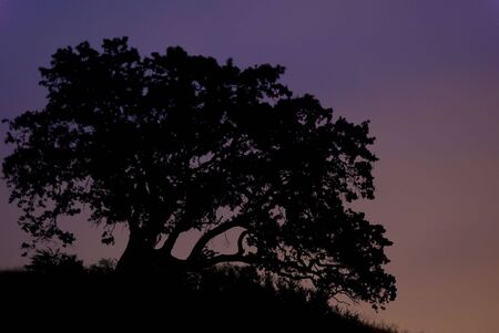 Large oak tree silohuetted at dusk with saturated background Stock Photo