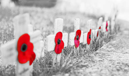 GRAINY BLACK and WHITE WITH RED POPPIES - Remembrance Day Poppies on wooden crosses, on frosty grass