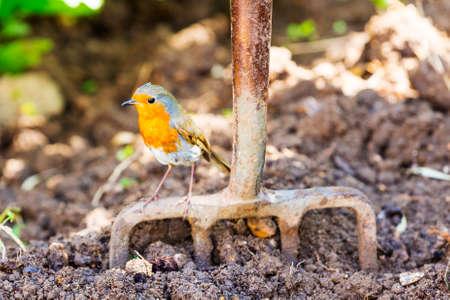 Garden Robin standing on garden fork with dug soil background.