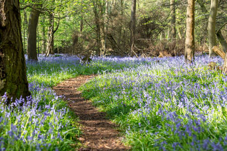 Winding path through Bluebell Wood in Spring Archivio Fotografico