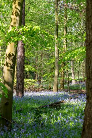Carpet of Bluebells in Beech Wood, Buckinghamshire, England UK Reklamní fotografie