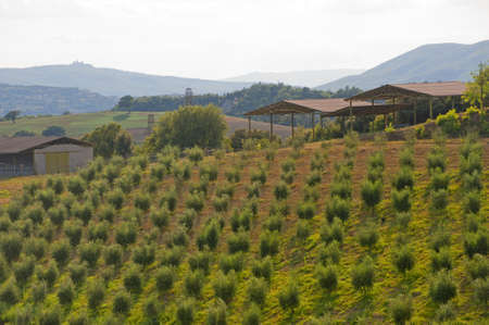 Landscape with olive trees at summer between Umbria and Tuscany Stock Photo