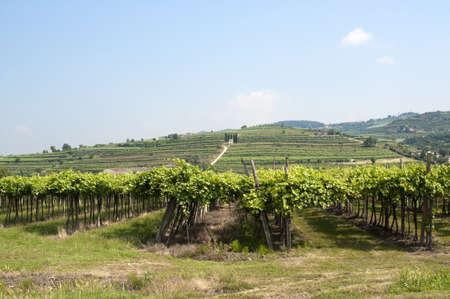 レッシーナ (イタリア、ヴェネト、ヴェローナ)、夏にソアーヴェ近くのブドウ園 写真素材