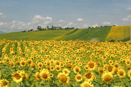 Marches (Italy) - Landscape at summer with sunflowers, farm Reklamní fotografie