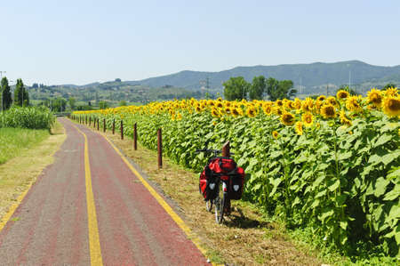 Lane for bicycles and sunflowers in Tuscany near Poggio a Caiano at summer photo