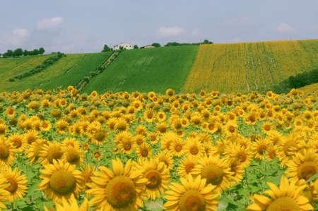 Marches (Italy) - Landscape at summer with sunflowers, farm Stock Photo