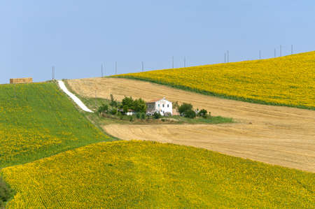 Marches (Italy) - Landscape at summer with sunflowers, farm