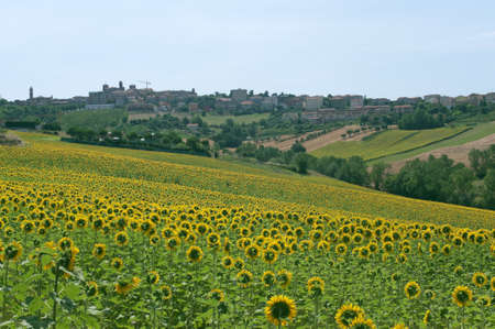 Panorama of Filottrano(Ancona, Marches, Italy) and sunflowers field photo