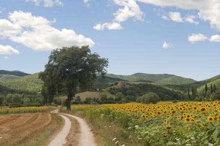 Landscape between Lazio and Umbria (Italy) at summer with sunflowers photo