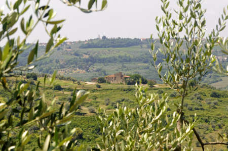 Chianti (Florence, Tuscany, Italy), old farmhouse through branches of olive trees photo
