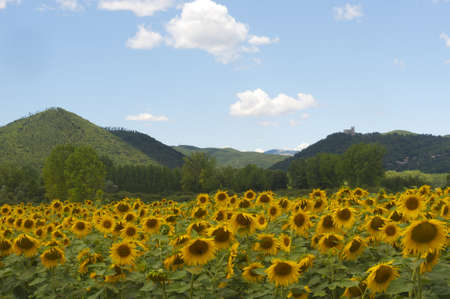 Landscape between Lazio and Umbria (Italy) at summer with sunflowers Stock Photo - 10798831