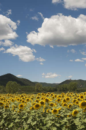 Landscape between Lazio and Umbria (Italy) at summer with sunflowers Stock Photo - 10828197