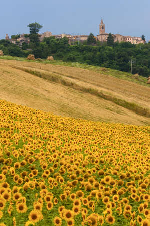 Marches (Italy) - Landscape at summer with sunflowers photo