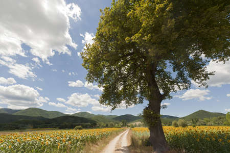Landscape between Lazio and Umbria (Italy) at summer with sunflowers Stock Photo - 10898507