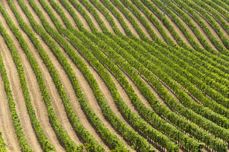 montepulciano: Landscape with vineyards at summer near Montepulciano (Siena, Tuscany, Italy) Stock Photo