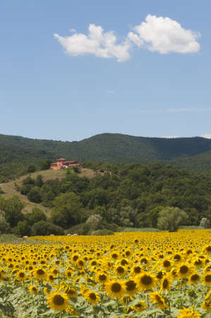 Landscape between Lazio and Umbria (Italy) at summer with sunflowers Stock Photo - 10983790