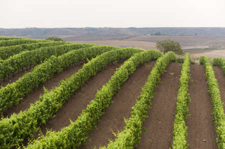 Landscape in Basilicata (Italy) near Venosa at summer: vineyard photo