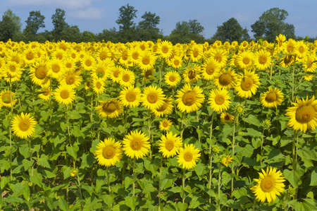 Countryside in Tuscany (Italy) near Siena at summer: fields of sunflowers photo