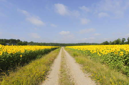 Countryside in Tuscany (Italy) near Siena at summer: fields of sunflowers Stock Photo - 11546959
