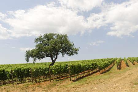 Maremma (Tuscany, Italy), country landscape with vineyards at summer photo