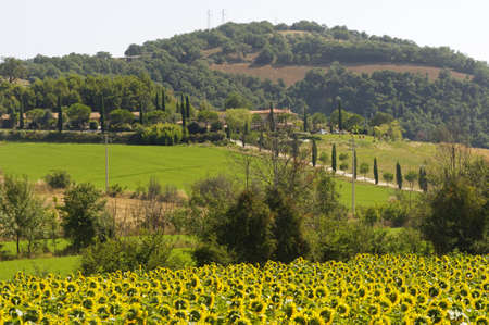 Maremma (Tuscany, Italy), country landscape with sunflowers at summer photo