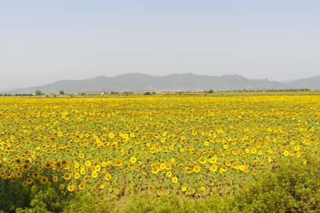 Country landscape in Maremma (Grosseto, Tuscany, Italy) at summer with sunflowers photo