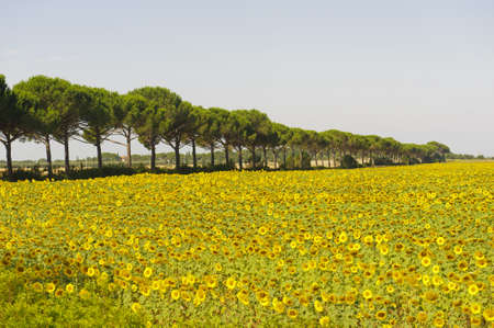 Country landscape in Maremma (Grosseto, Tuscany, Italy) at summer with sunflowers and pines