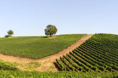 Vineyard in Maremma (Tuscany, Italy) at summer photo