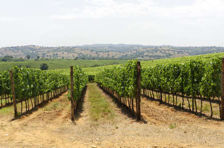 Maremma (Tuscany, Italy), country landscape with vineyards at summer photo