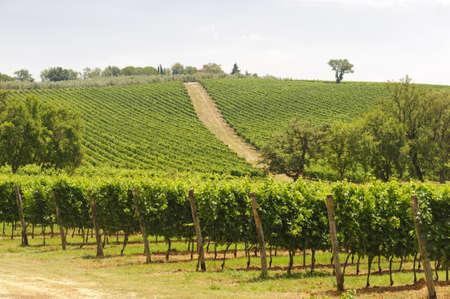 マレンマ (タスカニー、イタリア)、夏にブドウ園と国の風景 報道画像