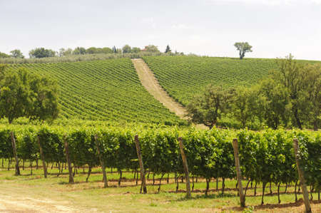 Maremma (Tuscany, Italy), country landscape with vineyards at summer Editorial