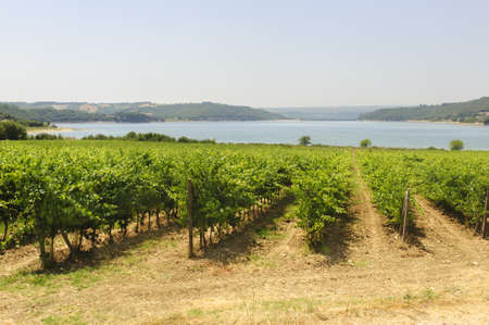 Vineyard on the Corbara Lake, near Orvieto, in Umbria (Italy) at summer photo