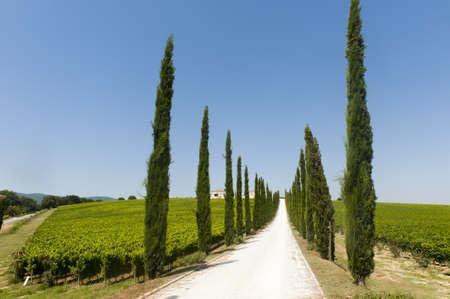 夏の糸杉とブドウ園でウンブリア州 (イタリア) のファーム