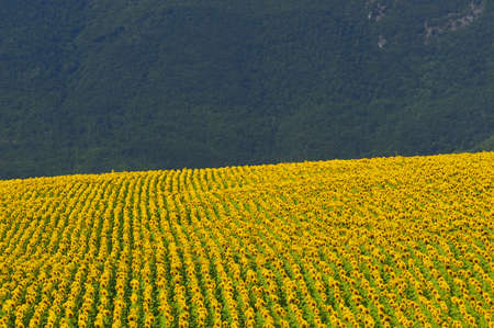 Marches (Italy), near Fabriano: landscape at summer with sunflowers Stock Photo - 12352367