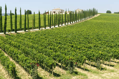 Farm in Umbria (Italy) at summer with cypresses and vineyards