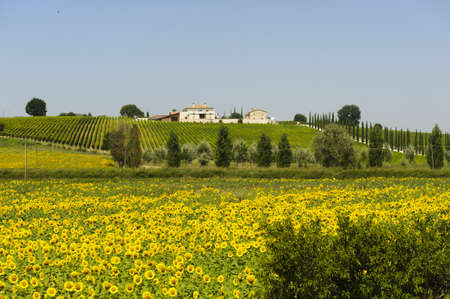 Farm in Umbria (Italy) at summer with sunflowers and vineyards