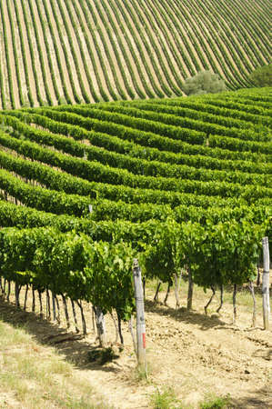 Vineyard in Val dOrcia (Siena, Tuscany, Italy) at summer photo