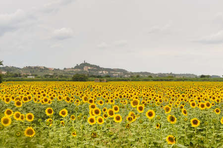 San Miniato  Florence, Tuscany, Italy  from a field of sunflowers at summer photo