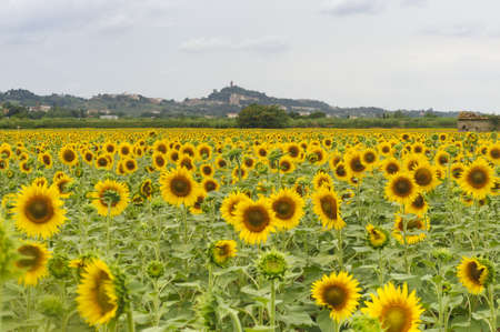 firenze: San Miniato  Florence, Tuscany, Italy  from a field of sunflowers at summer