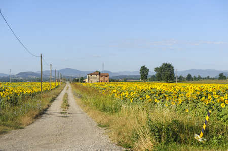 Path and sunflowers field near Parma (Emilia-Romagna, Italy) at summer