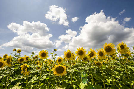 Field of sunflowers near Pierre-de-Bresse (Saone-et-Loire, Burgundy, France) at summer photo
