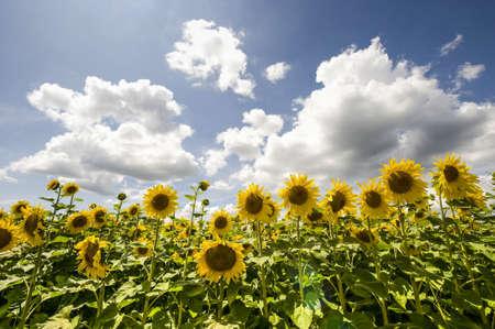 Field of sunflowers near Pierre-de-Bresse (Saone-et-Loire, Burgundy, France) at summer Stock Photo