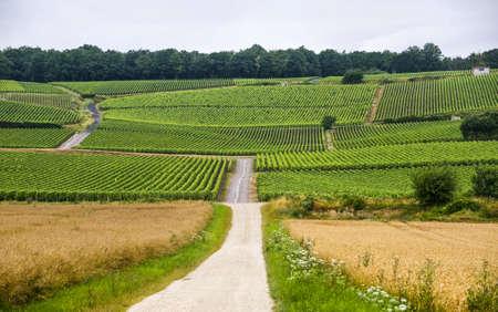 シャンパーニュ (フランス) の夏 (7 月) でブドウ畑