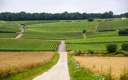 french countryside: Vineyards in Champagne (France) at summer (july)