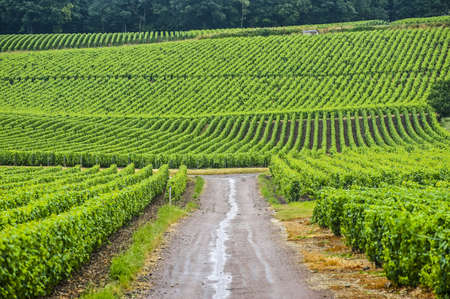 Vineyards in Champagne (France) at summer (july)